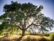 oak-tree-and-sun[1]