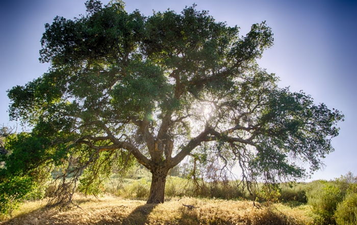 oak-tree-and-sun[1]